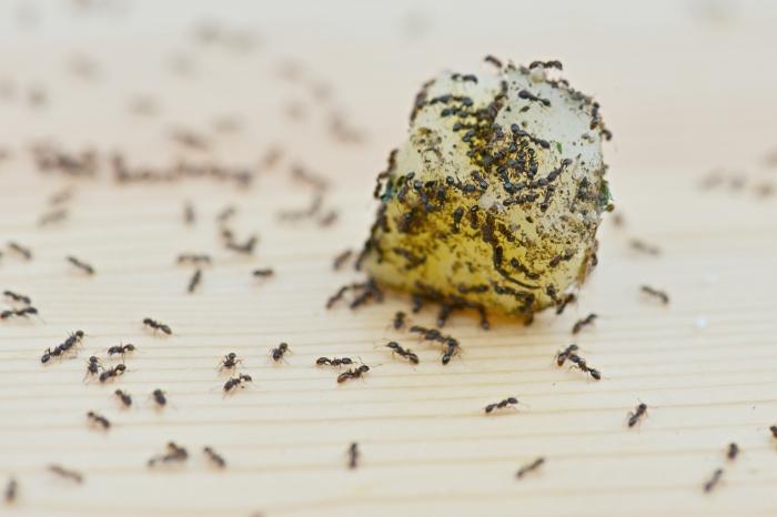 ameisen bekäpfen hilfreiche tipps und methoden kleine insekten im haus finden