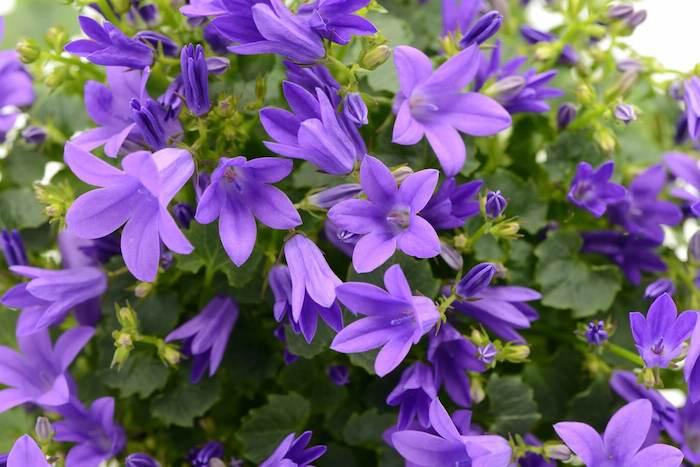 bart glockenblumen ideen für gartengestaltung pflanzen winterhart winterharte blumen im garten