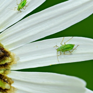 blatläuse bekämpfen die besten hausmitteln und natürlichen methoden kleine insekten nützliche gartentipps