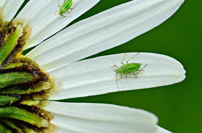 blatläuse bekämpfen die besten hausmittel und natürlichen methoden kleine insekten nützliche gartentipps