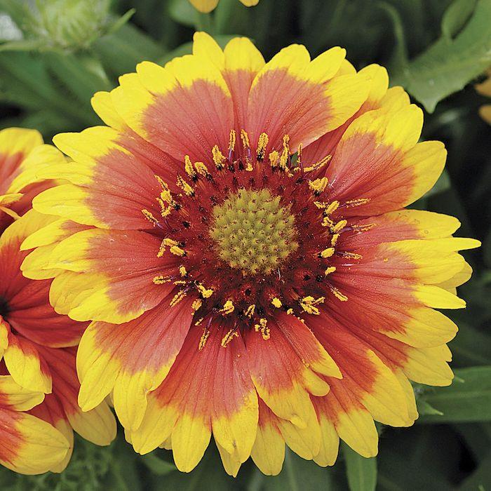 blume mit gelben und roten farben winterharte pflanzen für pralle sonne blumen die wenig wasser brauchen