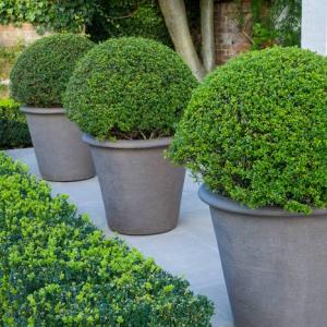 Buchsbaum schneiden - hilfreiche Tipps und Tricks