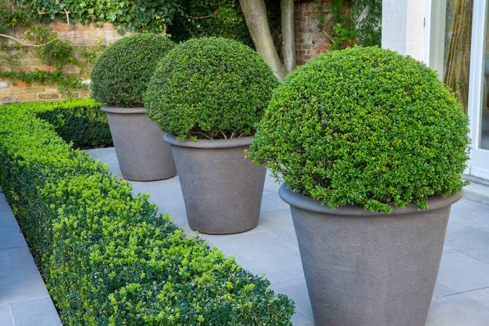 blumentopf mit grünen pflanzen buchsbaum schneiden tipps gartengestaltung