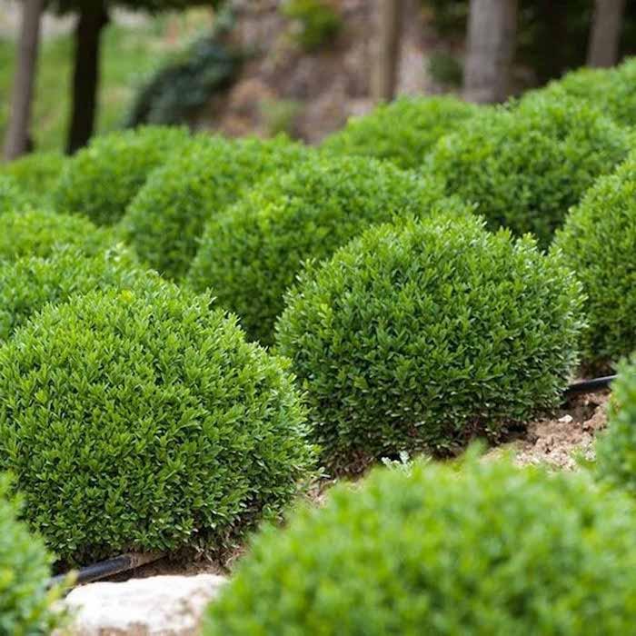 buchsbaum schneiden gartengestaltung ideen ein garten mit grünen pflanzen