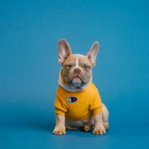die beliebtesten kleinen hunderassen ein hund mit kleidung