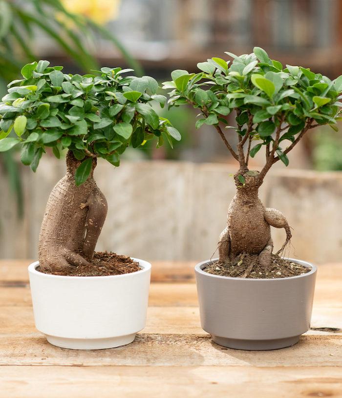 ein grauer und ein weißer topf bonsai pflege tipps kleine bonsai bäume für innenbereich bonsai schneiden