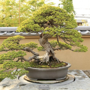 ein japanischer garten mit baum bonsai pflege tipps großer baum mit grünen blättern garten gestalten ideen