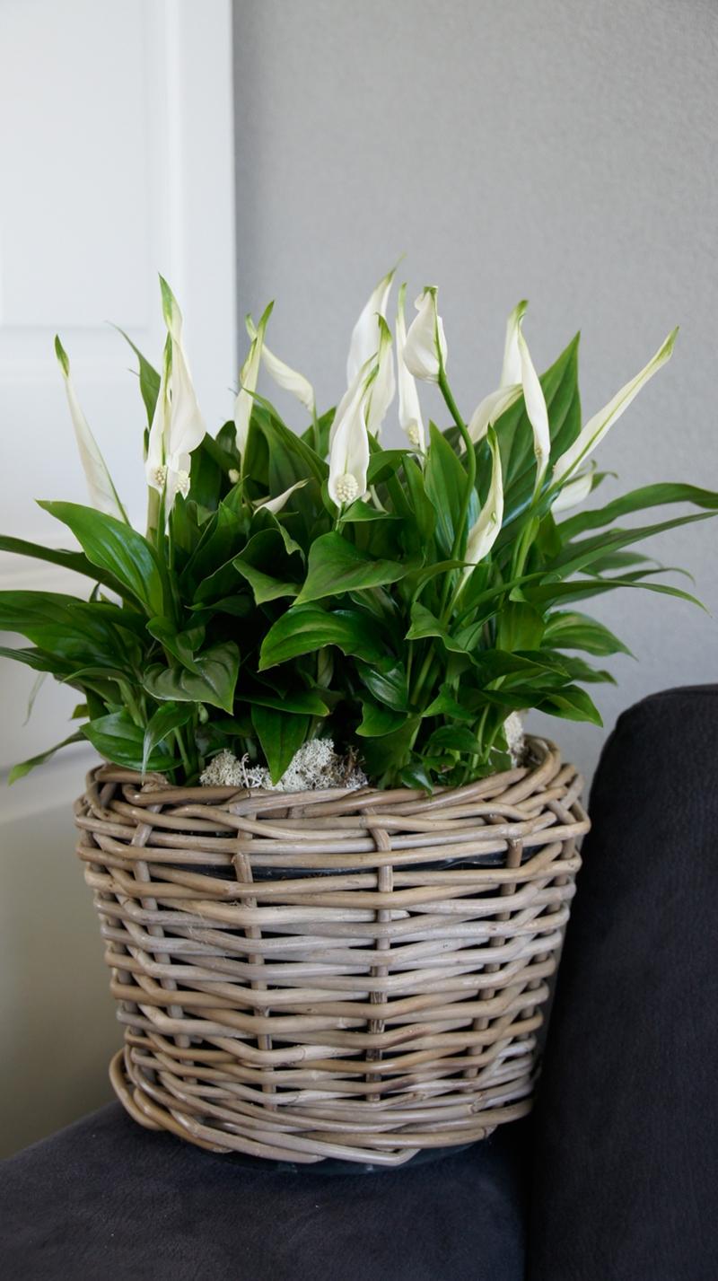 einblatt gelbe blätter zimmerpflanzen ideen pflanzen die pflegeleicht sind