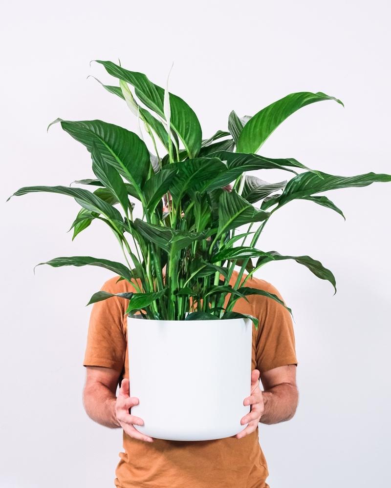 einblatt pflege wichtige pflegetipps für zimmerpflanzen