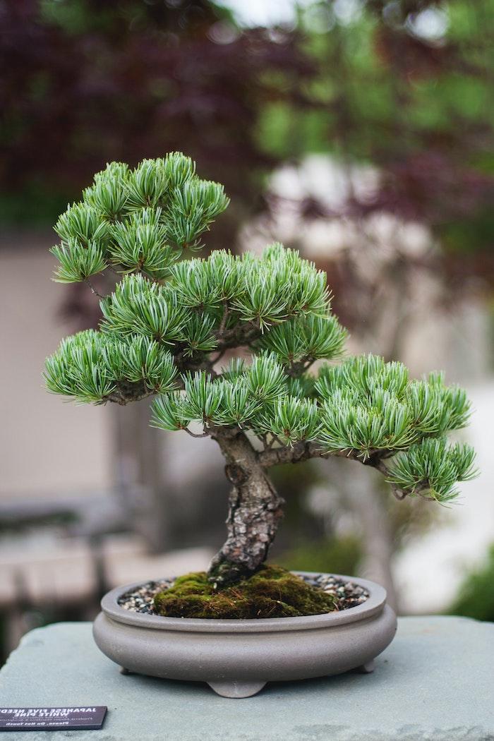 grauer tipf ein baum picea bonsai pflege tipps garten gestalten bonsai richtig schneiden