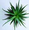 große grüne blätter einer sukkuleten pflanze aloe vera pfllege ein.topf mit aloe vera grüne blätter garten gestalten
