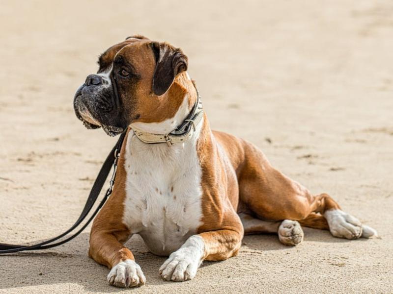 großer deutscher boxer welcher hund passt zu mir tipps hunderassen tipps