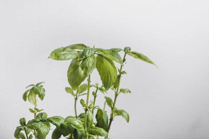 grüne basilikum blätter kräuter basilikum pesto basilikum pflege tipps