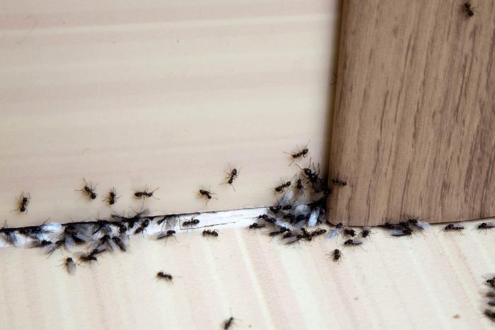 hausmittel gegen ameisen hilfreiche mittel gegen insekten im haus