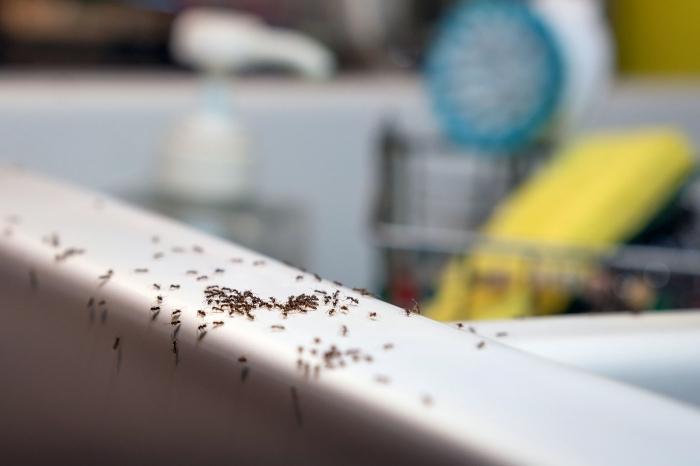 hausmittel gegen ameisen kleine schädlinge im haus insekten bekäpfen methoden und tipps