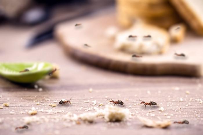hausmittel gegen ameisen schädlinge im haus effektive mittel gegen insekten