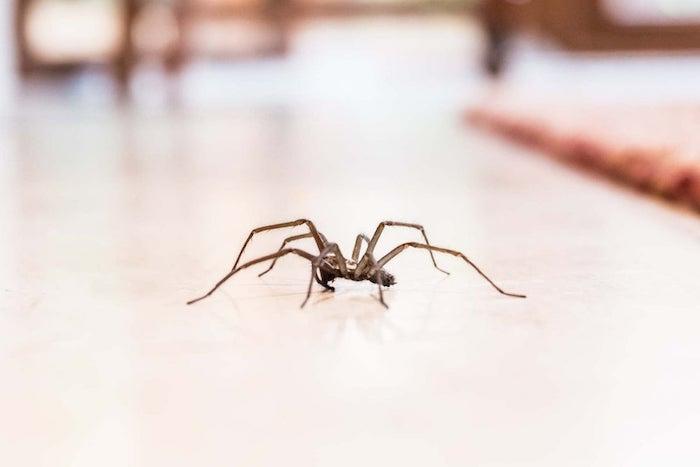 hausspinnen bekämpfen insektenschutzmittel selber machen spinnen in der wohnung vertreiben