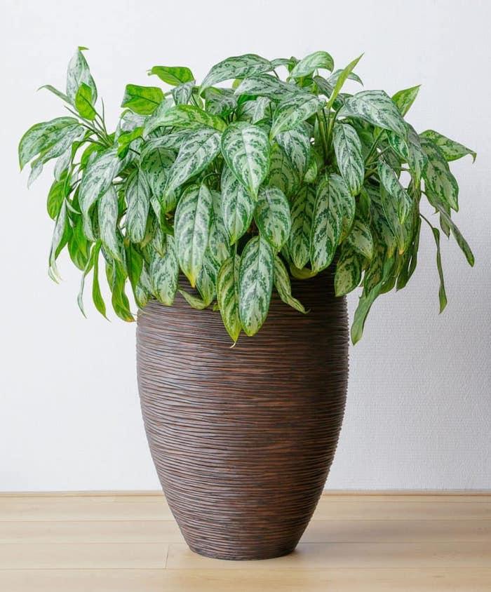 immergrüne chinesische pflanze in einem großen braunen topf pflanzen volle sonne wenig wasser leichte pflege