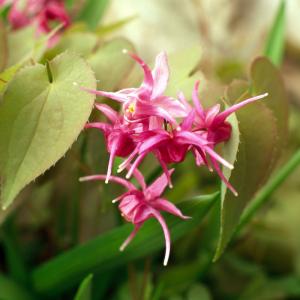 kleine elfenblumen winterharte pflanzen grüne blätter gartengestaltung ideen