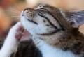 Natürliche Hausmittel, um die Flöhe bei Katzen schnell zu bekämpfen
