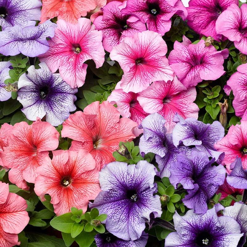 petunien welche blumen blühen den ganzen sommer im garten