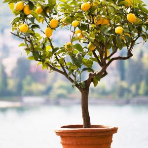 pflege zitronenbaum wie zitronenbaum pflegen wie viel wasser braucht zitronenbaum wie oft zitronenbaum gießen zitronenbaum in keramiktopf