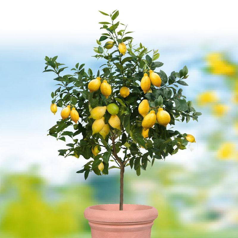 pflege zitronenbaum zitronenbäumchen zitronenbaum verliert bätter zitronenbaum düngen zitrusbaum selber ziehen zitronenbaum blüte großer blumentopf großer zitronenbaum