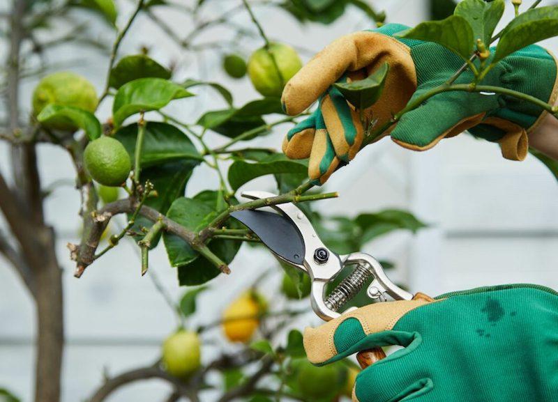 pflege zitronenbaum zitronenbaum frost zitronenbäumchen schneiden zitronenbaum pflege äste schneiden
