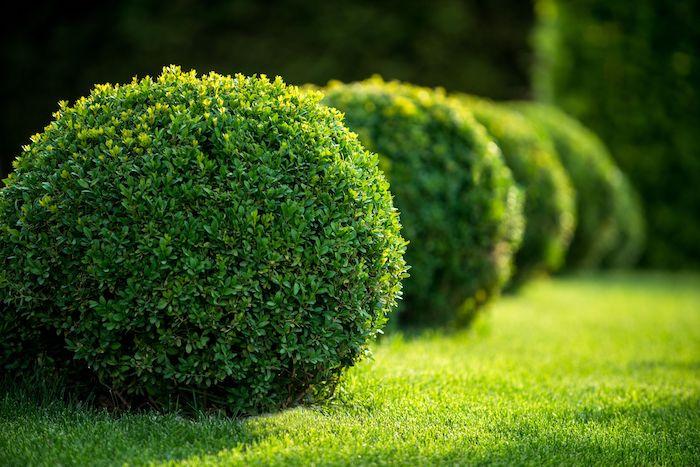 rasen mit grünen pflanzen buchsbaum schneiden
