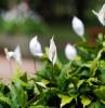 spathiphyllum pflege nützliche tipps und ratschläge einblatt