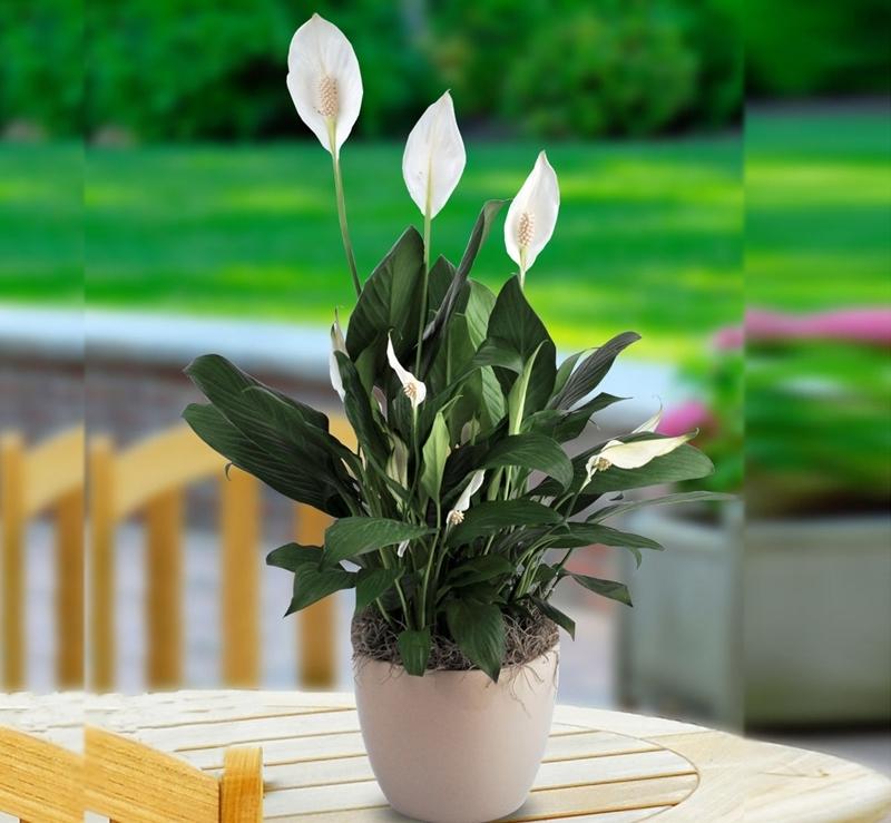 spathiphyllum pflege tipps für hobbygärtner blume