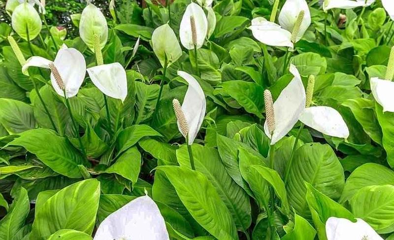 spathiphyllum pflege tipps zimmerpflanze mit weißen blüten
