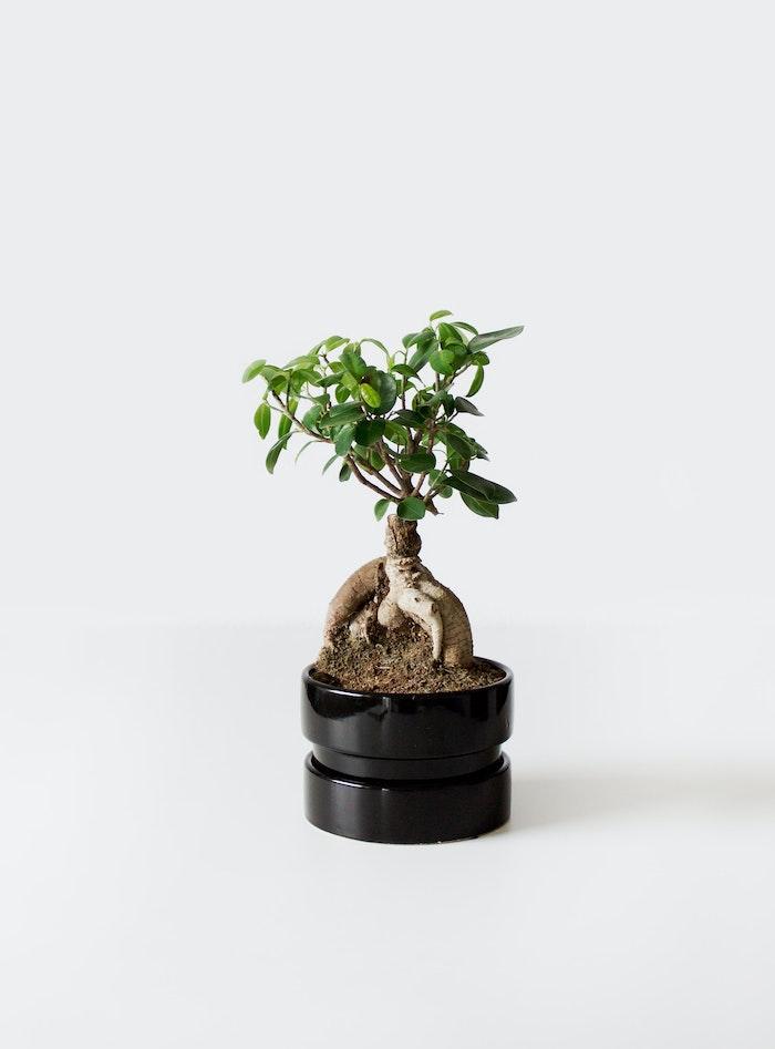 standort für bonsai bonsai pflege tipps schwaruer topf mit einem baum mit grünen bäumen bonsai pflege tipps