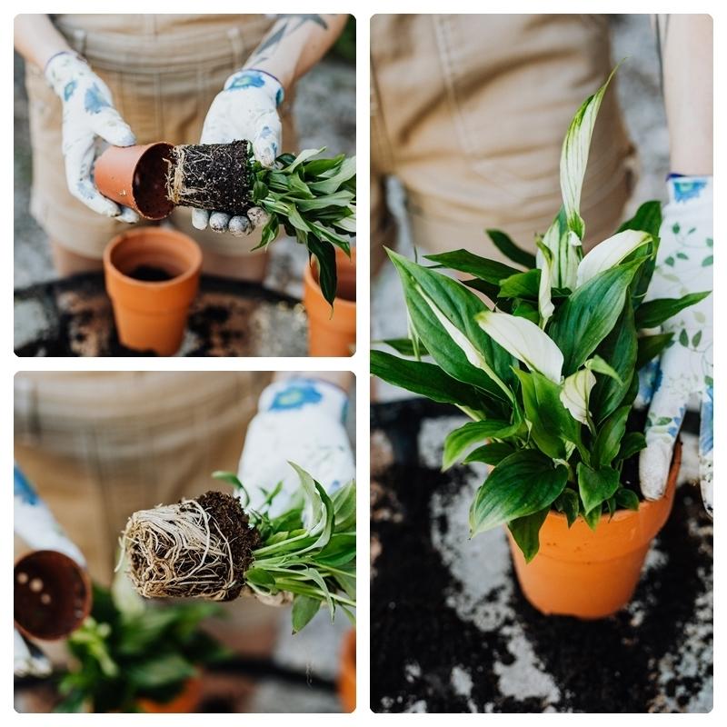 tipps zur richtigen spathiphyllum pflege pflageleichte pflanzen