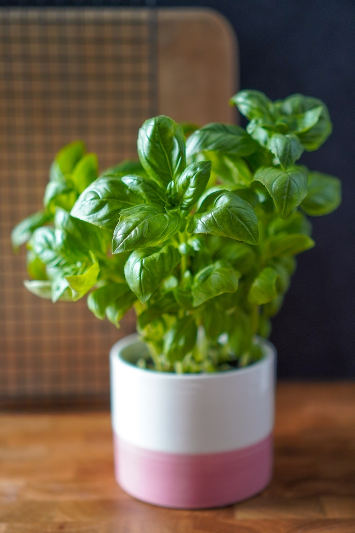 topf mit grünen basilikum blätter basilikum pflege frische pflanze garten gestalten ideen