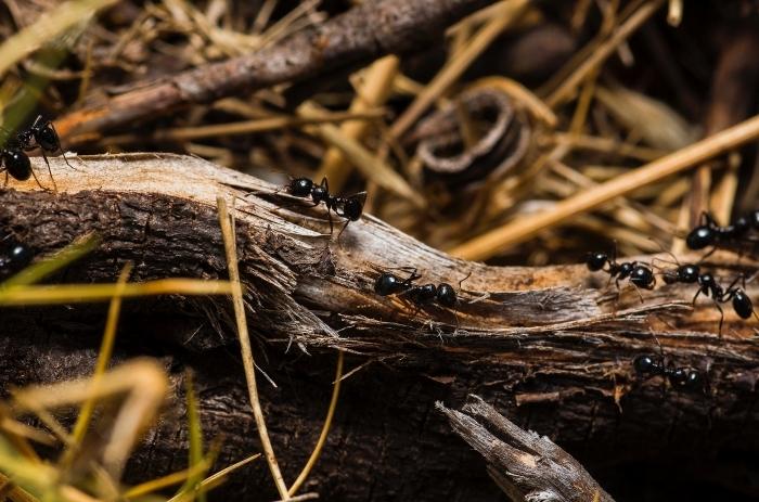 was hilft gegen ameisen hilfreiche tipps und methoden bewährte natürliche mittel
