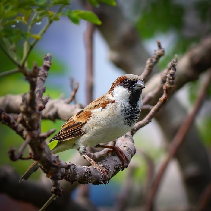 was hilft gegen blattläuse natürliche feinde spatze im garten vogel die schädlinge fressen