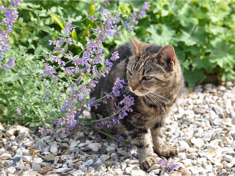 was hilft gegen flöhe bei katzen hausmittel gegen flöhe bei katzen flöhmittel katze mittel gegen flöhe katzenminz katze im hof frische katzenminze