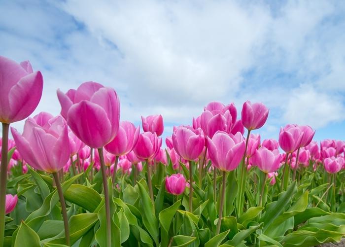was hilft gegen läuse effektive mittel hausmittel und tipps rosa tulpen gartenpflege