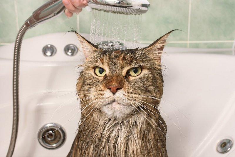 was machen bei flöhen kätze wie bemerkt man flöhe bei katzen katzenflöhe bekämpfen katze duschen unzufrieden
