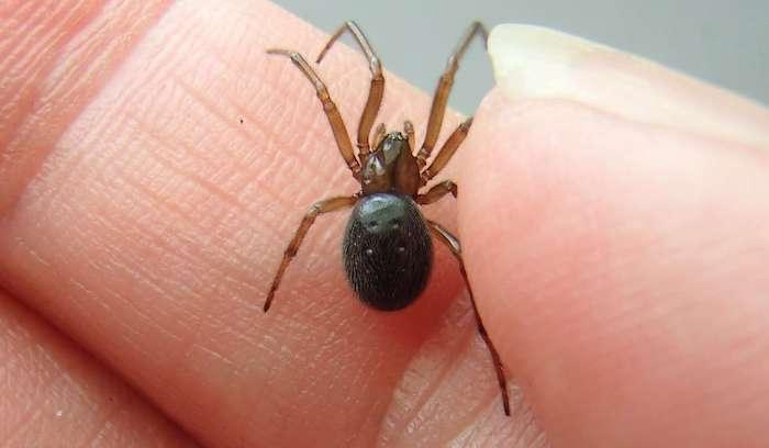 was tun gegen spinnen nützlichen hausmittel zur bekämpfung von insekten kleine schwarze spinne