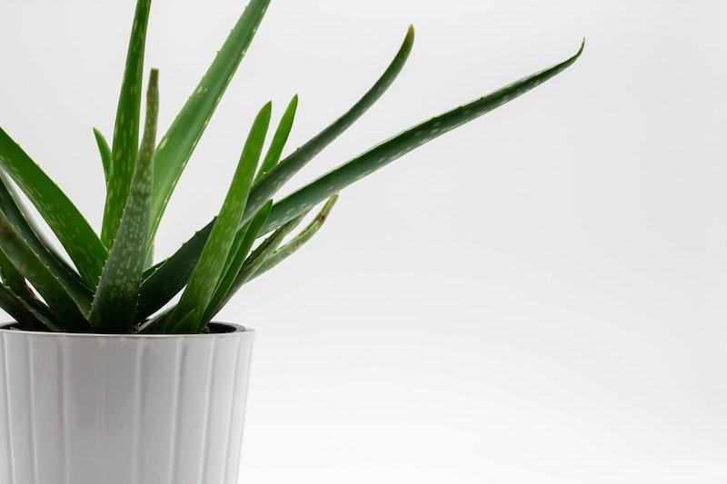 weiße vase grüne pflanze aloe vera saft selber machen