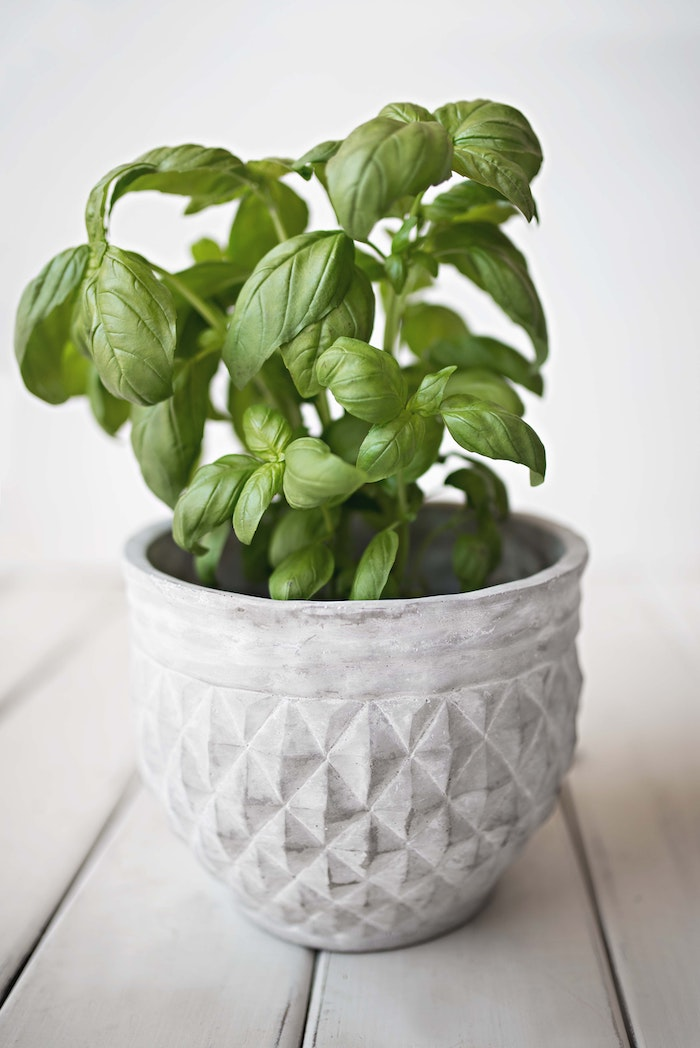weißer topf mit basilikum mit grünen blättern basilikum pflege tipps
