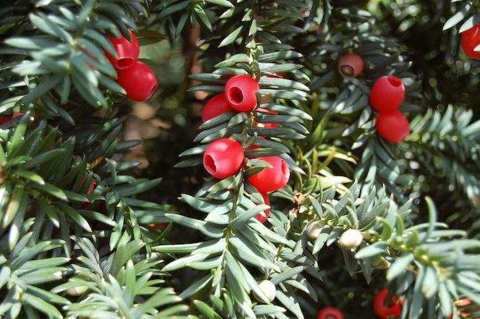 winterharte pflanzen taxus rote früchte eibe ideen für garten gestalten