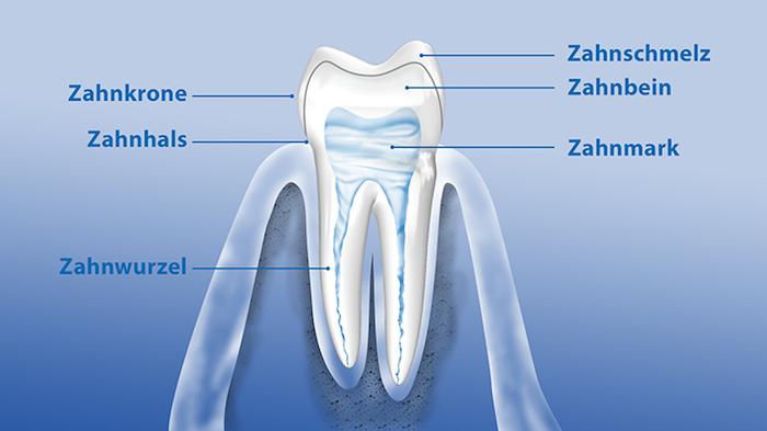 zahnnerv beruhigen hausmittel was tun bei zahnschmerzen kieferentzündung bild mit teilen des zahns