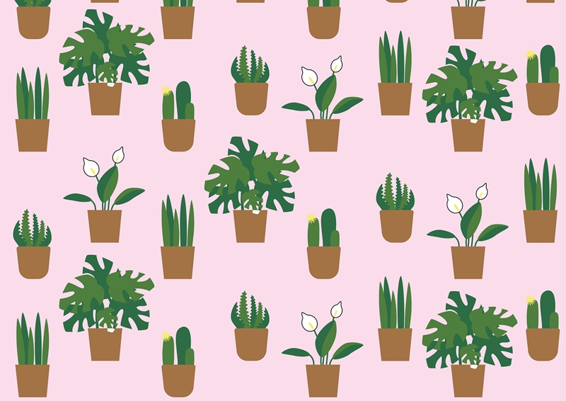 zimmerpflanze weiße blüten spathiphyllum einblatt