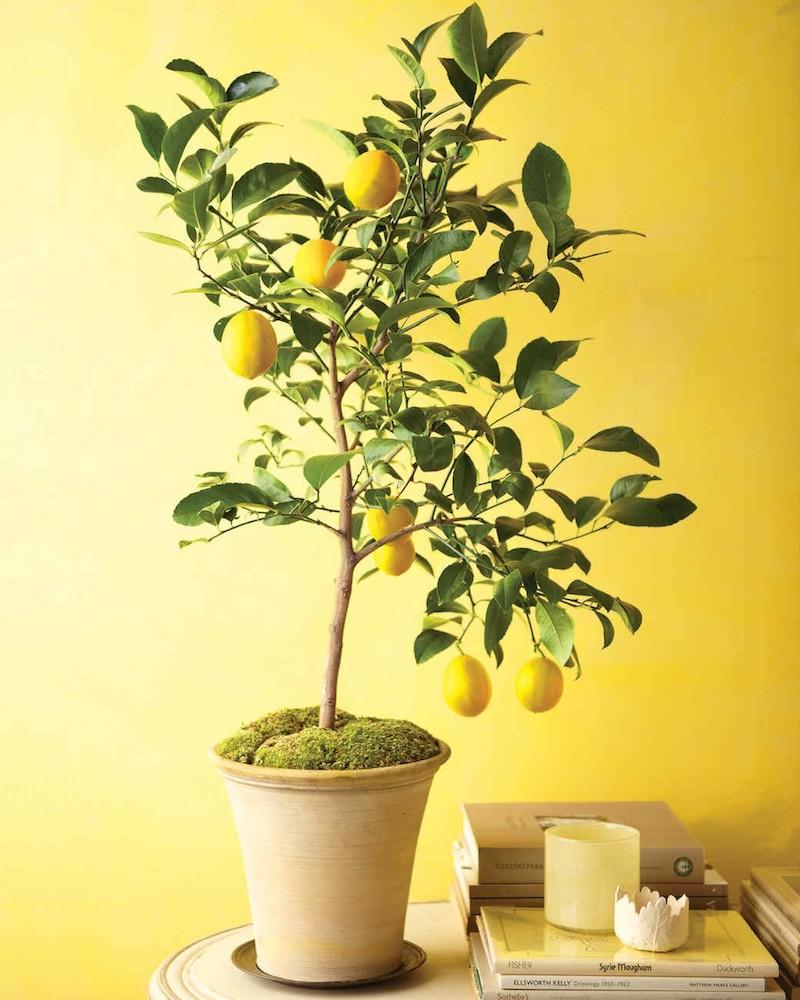 zitronenbäumchen ziehen zitronenbaum umtopfen pflege zitronenbaum zitronenbaum in keramiktopf zitrone pflanzen wohnzimmer gelbe wand