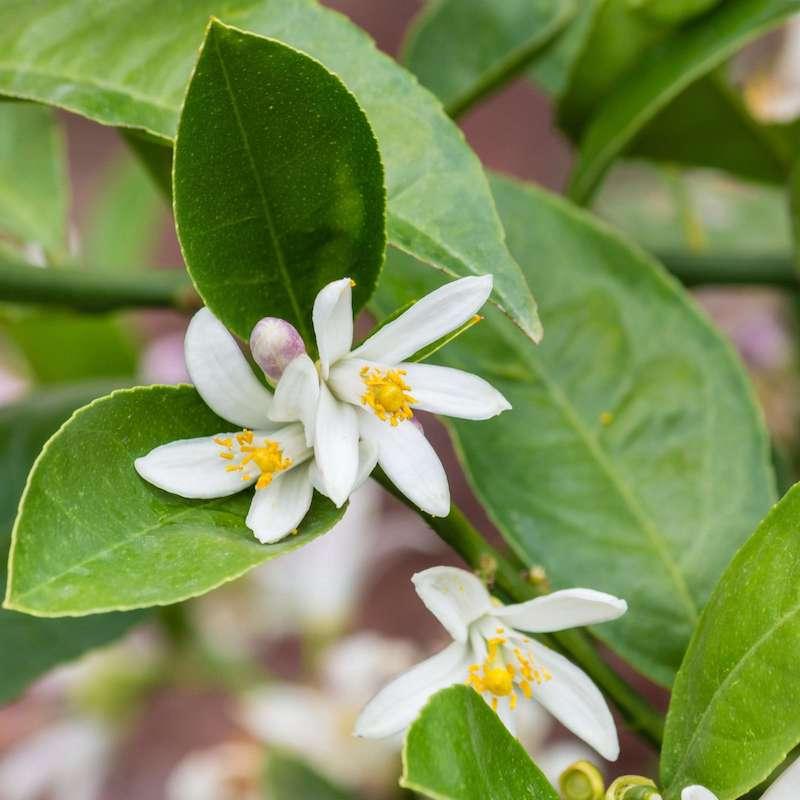 zitronenbaum blüte zitronenbäumchen selber ziehen zitrone pflanzen weiße blüte pflege zitronenbaum