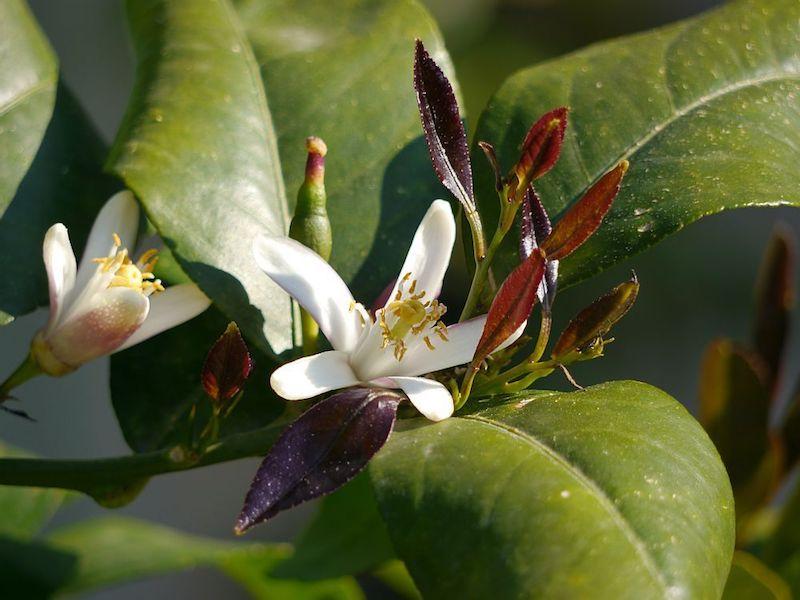 zitronenbaum düngen wie lange bis ein zitronenbaum blüht wie oft blüht ein zitronenbaum weiße blühte