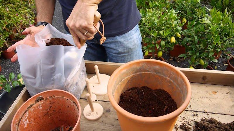 zitronenbaum pfelge zitronenbaum düngen zitronenbaum überwintern winterhart zitronenbaum umtopfen man füllt keramiktopf mit erde